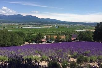 Photo of lavender fields near Asahikawa, Hokkaido