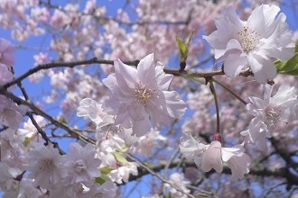 Cherry Blossoms Blooming in Kozoji