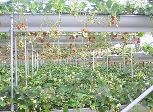 Photo of Strawberries at a farm near Oyama